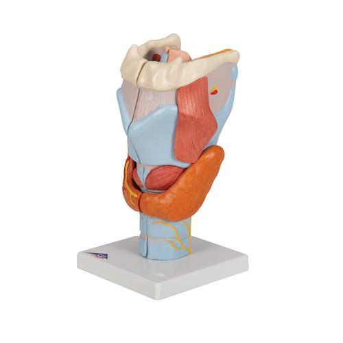 Human Larynx Model, 2 times Full-Size, 7 part - 3B Smart Anatomy, 1000272 [G21], Ear Models