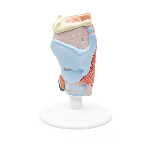Larynx Model, 2 part - 1000273 - 3B Scientific - G22 - Ear Models ...