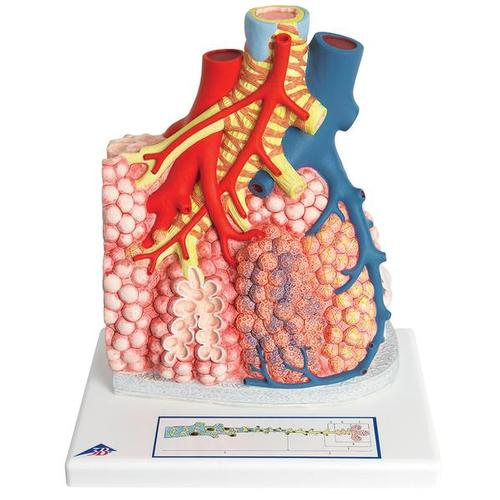 Model of Pulmonary Lobule with Surrounding Blood Vessels, 130 times Magnified - 3B Smart Anatomy, 1008493 [G60], Lung Models