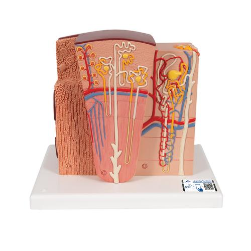 3B MICROanatomy™ Kidney Model - 3B Smart Anatomy, 1000301 [K13], Urology Models