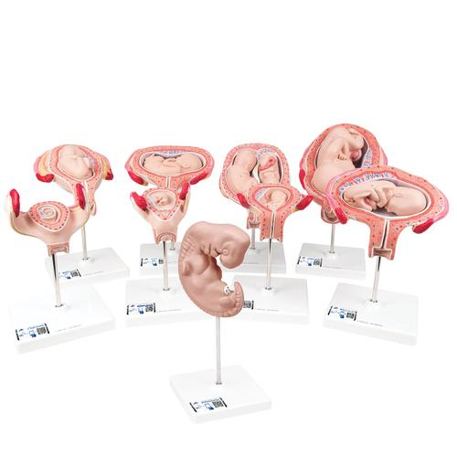 Deluxe Pregnancy Models Series, 9 Individual Embryo & Fetus Models - 3B Smart Anatomy, 1018628 [L11], Pregnancy Models