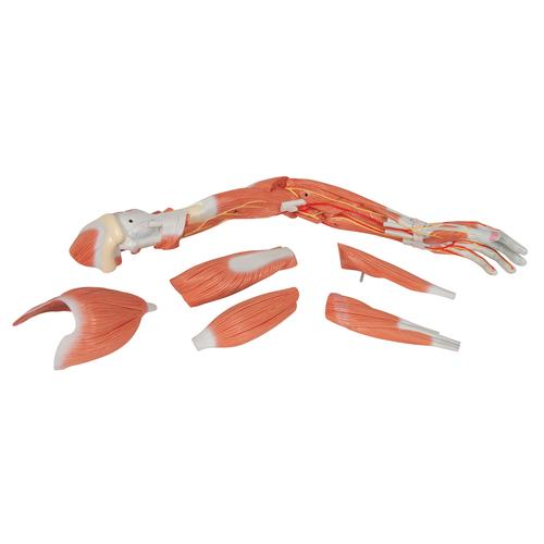 Life-Size Deluxe Muscle Arm Model, 6 part - 3B Smart Anatomy, 1000347 [M11], Muscle Models
