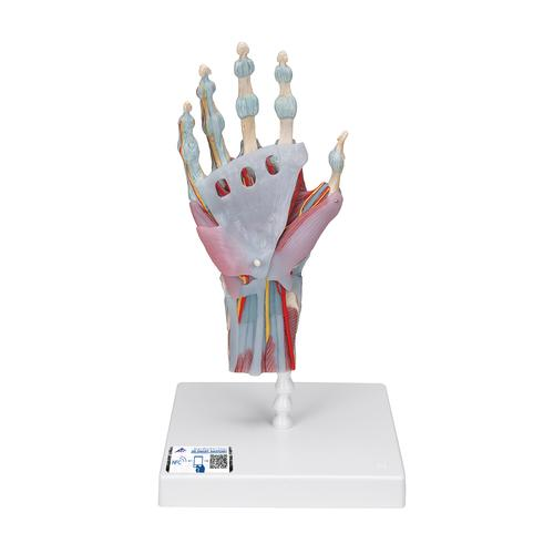 Anatomical Teaching Models - Plastic Human Joint Models - Hand ...