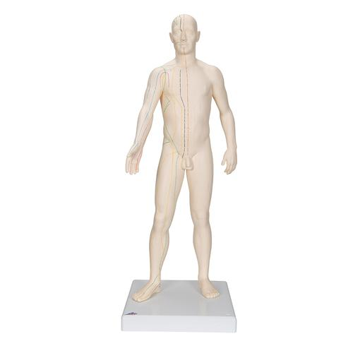 Acupuncture Model, male, 1000378 [N30], Human Torso Models