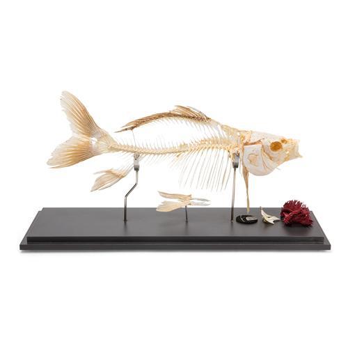 Carp Skeleton Cyprinus Carpio Specimen 1020962 T300011