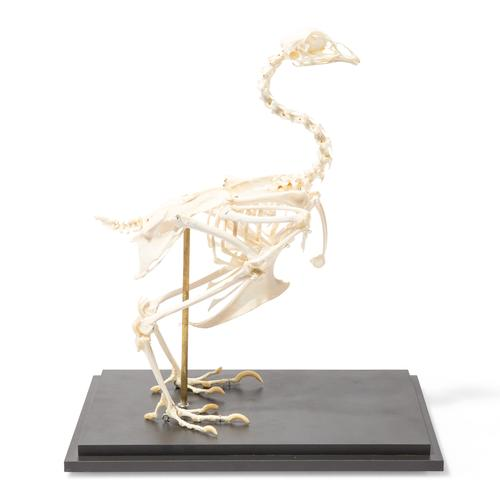T30002: Chicken Skeleton (Gallus gallus domesticus), Rigidly Mounted, Specimen