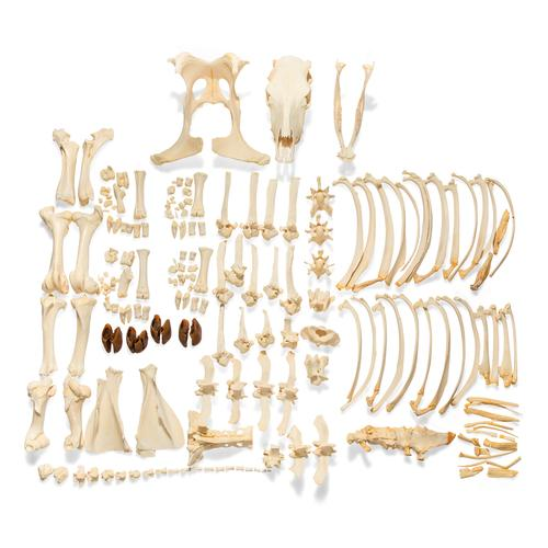 Bovine skeleton (Bos taurus), without horns, disarticulated, 1020975 [T300121w/oU], Osteology