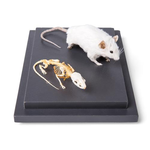 Mouse and Mouse Skeleton (Mus musculus) in Display Case, Specimens, 1021039 [T310011], Small Animals