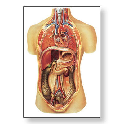 Internal organs Chart - 4006517 - V2006U - Respiratory System - 3B ...