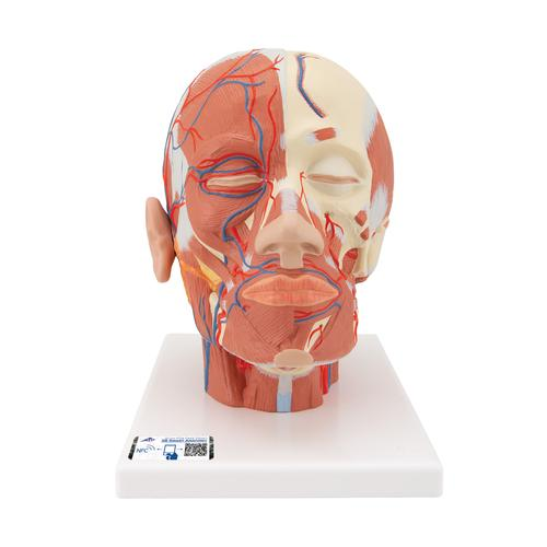 Head Musculature Model with Blood Vessels - 3B Smart Anatomy, 1001240 [VB128], Head Models