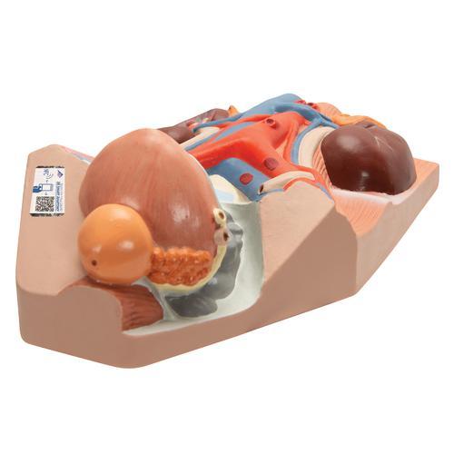 Male Urinary System Model, 3/4 Life-Size - 3B Smart Anatomy, 1008551 [VF325], Urology Models