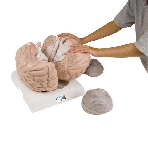 Giant Human Brain Model, 2.5 times Full-Size, 14 part - 3B Smart Anatomy, 1001261 [VH409], Brain Models