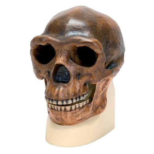 Replica Homo Erectus Pekinensis Skull (Weidenreich, 1940), 1001293 [VP750/1], Anthropological Skulls
