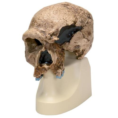 Replica Homo steinheimnensis Skull (Berkhemer, 1936), 1001296 [VP753/1], Anthropological Skulls