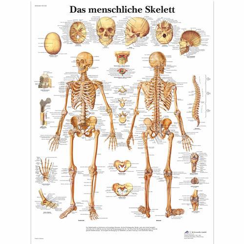 Das menschliche Skelett - 1001302 - VR0113L - Skeletal System - 3B ...