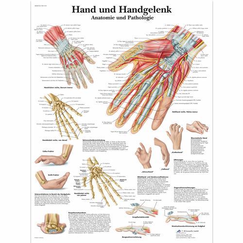 Anatomie Image hand und handgelenk - anatomie und pathologie - 1001318 - vr0171l