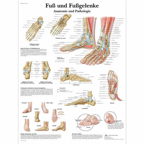 Anatomie Image fuß und fußgelenke - anatomie und pathologie - 4006579 - vr0176uu
