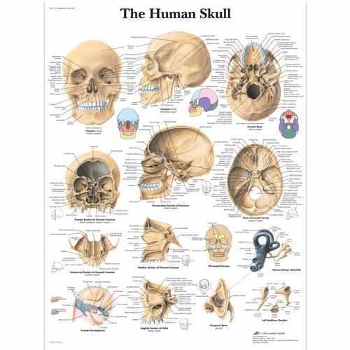 Human Skull Chart - 1001478 - VR1131L - Skeletal System - 3B Scientific