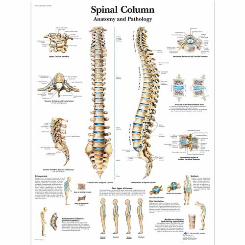 Spinal Column Chart Vertebrae Posters And Charts Human Vertebral