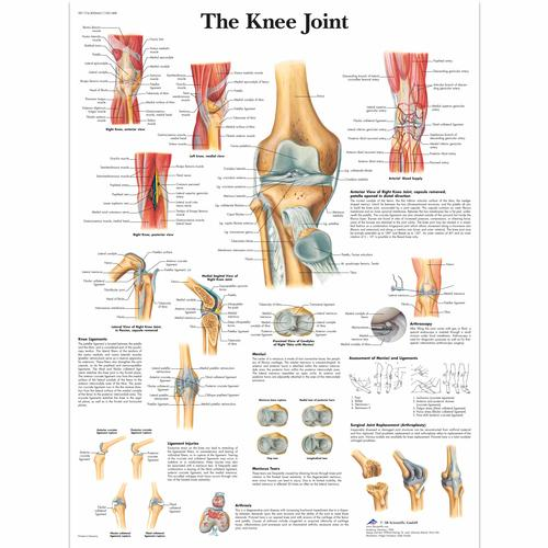 knee joint chart 4006661 vr1174uu skeletal system