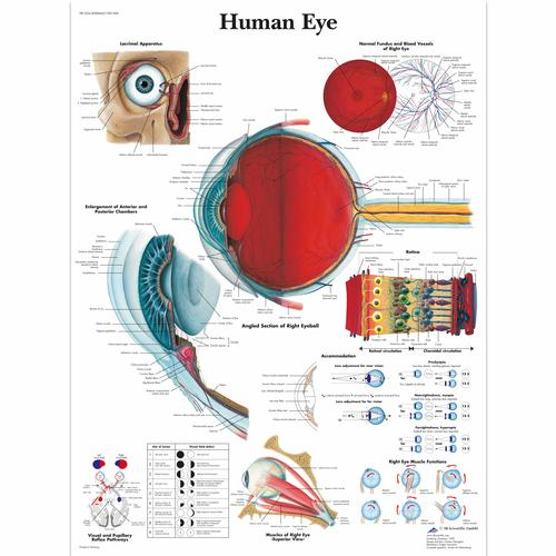 Human Eye Chart, 4006665 [VR1226UU], Ophthalmology