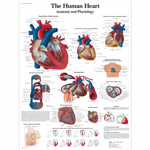 The Human Heart Chart Anatomy And Physiology 4006679 Vr1334uu