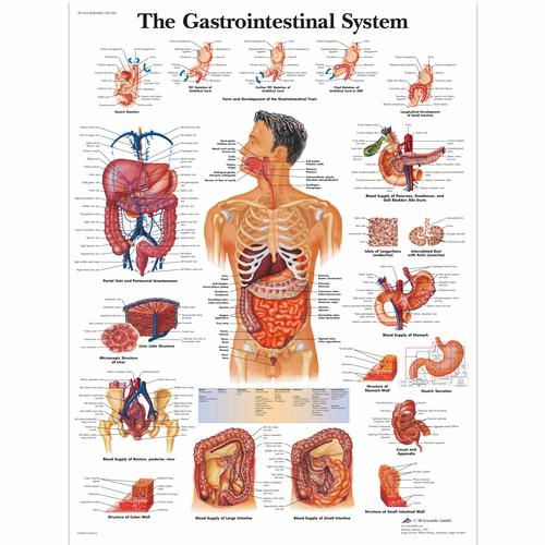 Anatomical charts and posters anatomy charts gastrointestinal
