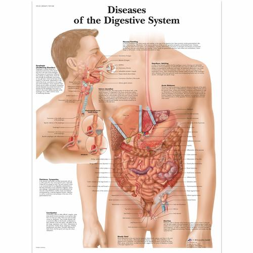 Flowchart of digestive system with enzymes