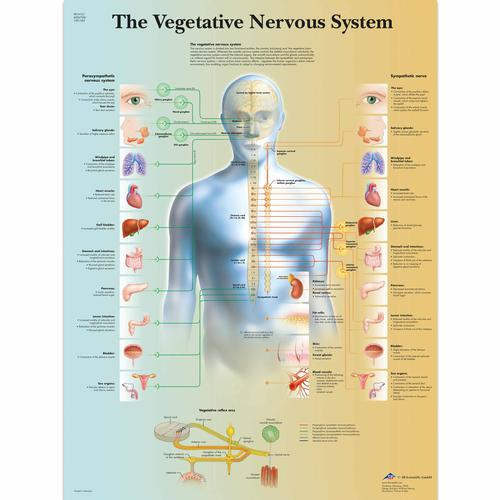 Anatomical charts and posters anatomy charts vegetative nervous the vegetative nervous system chart 1001582 vr1610l brain and nervous system ccuart Choice Image