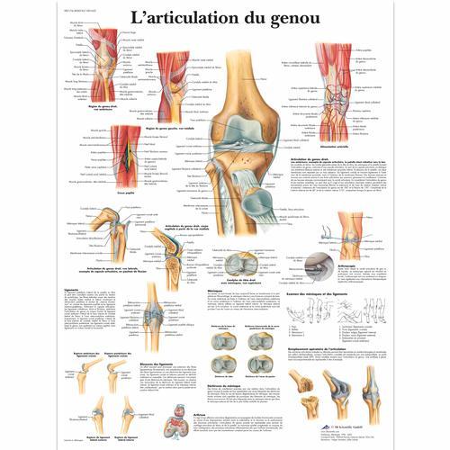 L\'articulation du genou - 4006743 - VR2174UU - Skeletal System - 3B ...