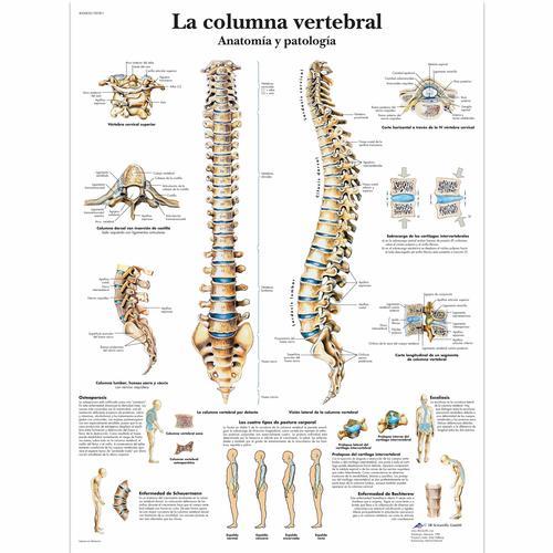 La Columna Vertebral Anatomía Y Patología 4006820 Vr3152uu