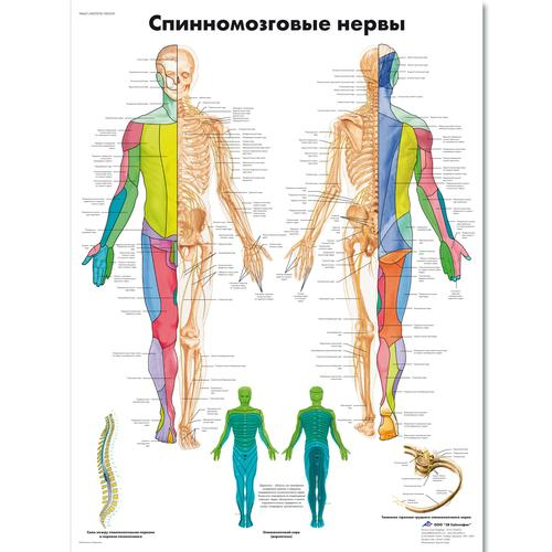 Spinal Nerves Chart - 1002329 - VR6621L - ZVR6621L - Brain and ...