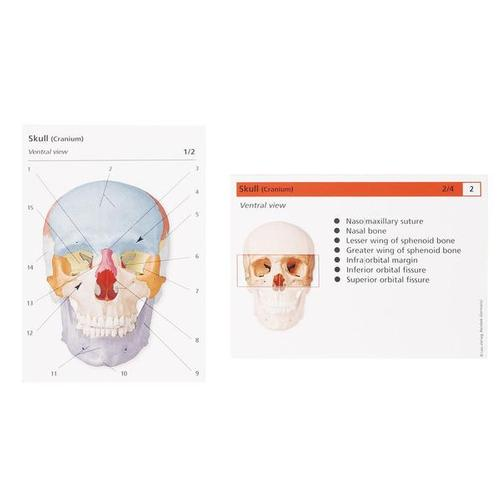 Human Anatomy Flash Cards - The Skeletal System, 1003743 [W11505], Flashcards