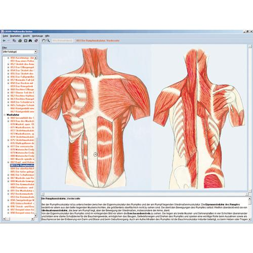 Human skeleton, musculature and apparatus of movement, Interactive ...