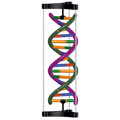 DNA Double Helix Model, Student Kit, 1005300 [W19780], DNA Models