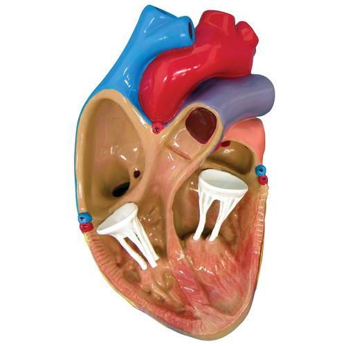 3 Mini Heart Model Set