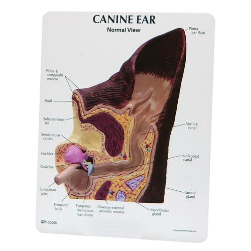 Canine Ear Model - Normal / Infected, 1019593 [W47850], Zoological Diseases