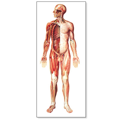 V2037M: The Nervous System Chart, front
