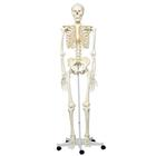 Skeleton Models - Life size