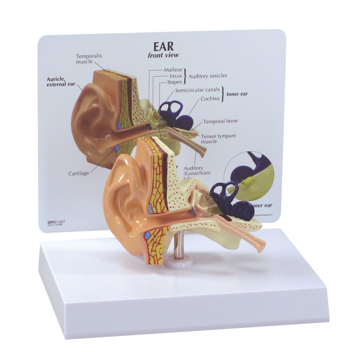 Ear Model - 1019526 - 2250 - Ear Models | Larynx Models | Sinus Models