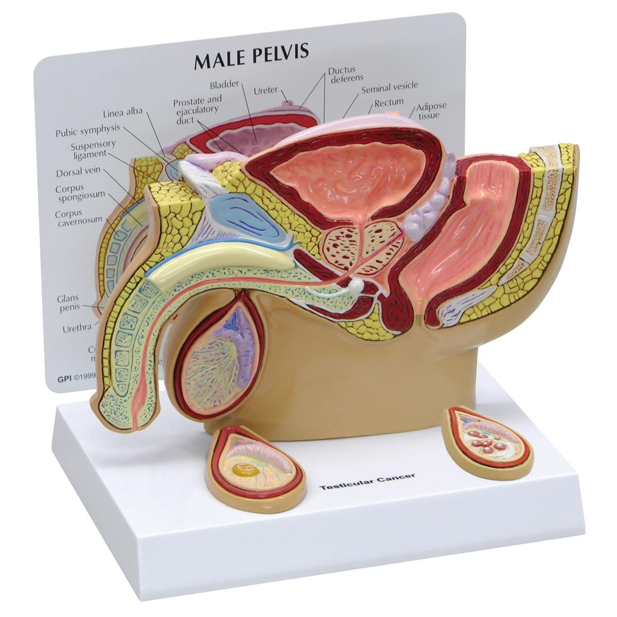 Male Pelvis Model With Testicles 1019565 3570 Genital And