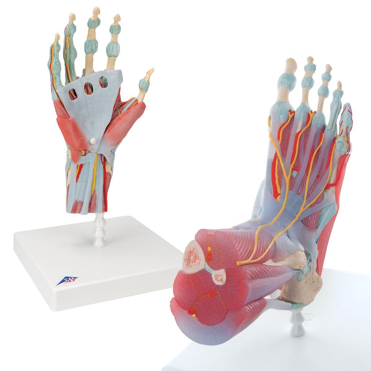 Anatomy Set Hand Foot 8000839 Anatomy Sets 3b Scientific