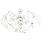Disarticulated Full Human Skeleton with 3 part skull,A05/1