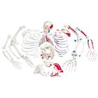 Disarticulated Human Skeleton Model with Painted Muscles, Complete with 3-part Skull - 3B Smart Anatomy, 1020158 [A05/2], Disarticulated Human Skeleton Models