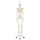Human Skeleton Model Stan on Hanging Stand - 3B Smart Anatomy, 1020172 [A10/1], Skeleton Models - Life size