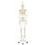 Human Skeleton Model Stan on Hanging Stand - 3B Smart Anatomy, 1020172 [A10/1], Skeleton Models - Life size (Small)