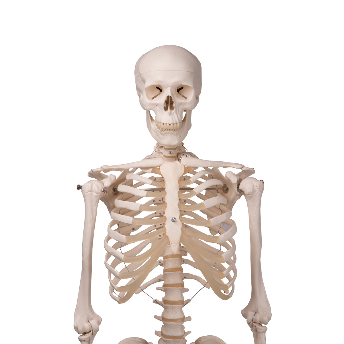 Human Skeleton Model | Human Anatomical Skeleton | Hanging ...