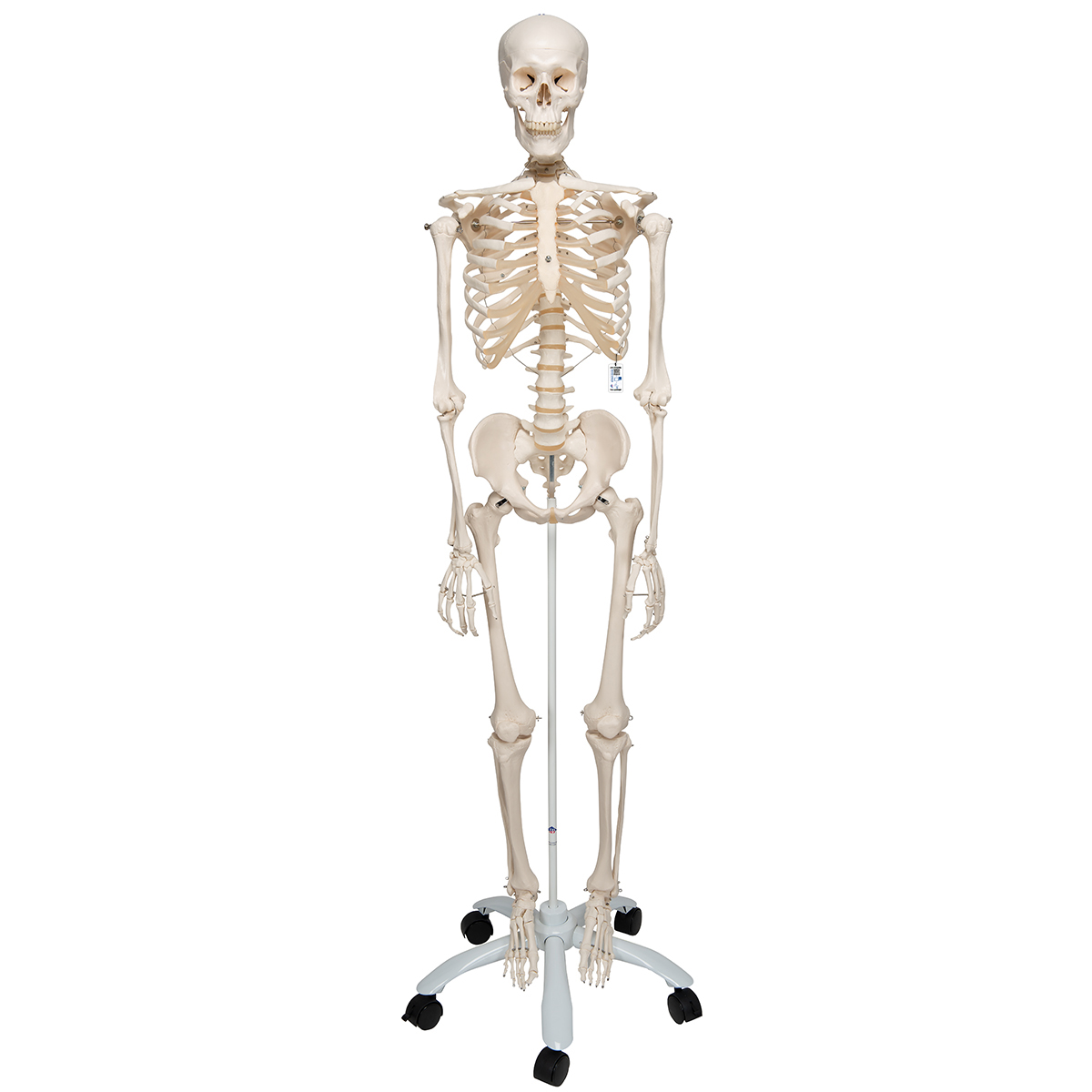 Human Skeleton Model | Skeleton for Anatomy | Plastic Skeleton Model