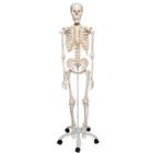 Human Skeleton Model Stan - 3B Smart Anatomy, 1020171 [A10], Skeleton Models - Life size