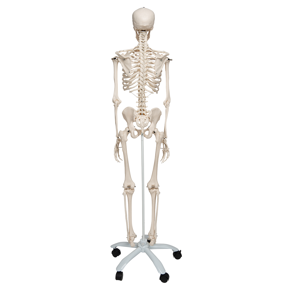 human skeleton model | skeleton for anatomy | plastic skeleton model, Skeleton